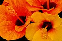 Orange-Yellow Hibiscus